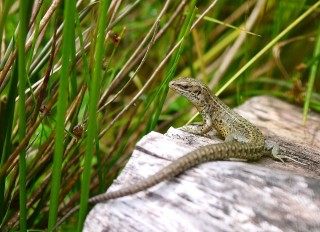 Lizard on a Log by Laura Snell